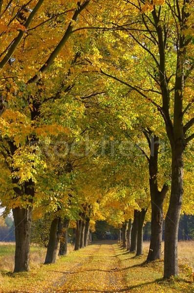 lime tree avenue 06 Stock photo © LianeM