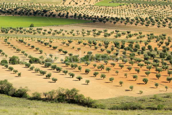 olive grove 15 Stock photo © LianeM