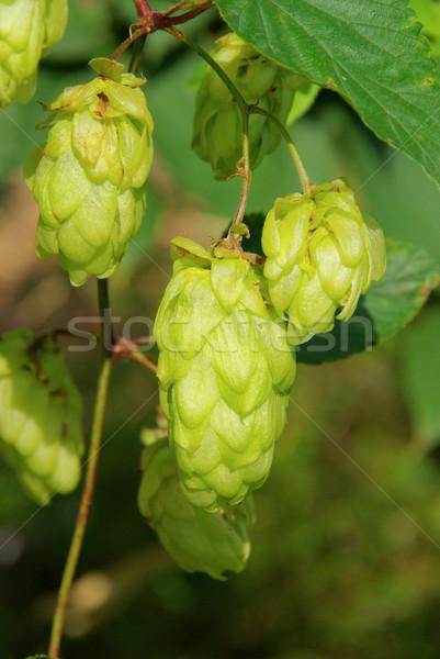 Stockfoto: Hop · plant · groene · bladeren · najaar · detail