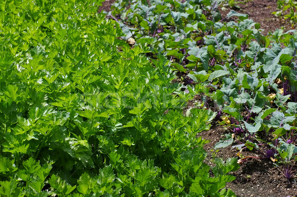 potager with celery and Kohlrabi Stock photo © LianeM