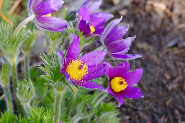 紫色 花 春 種 青 バイオレット ストックフォト © LianeM