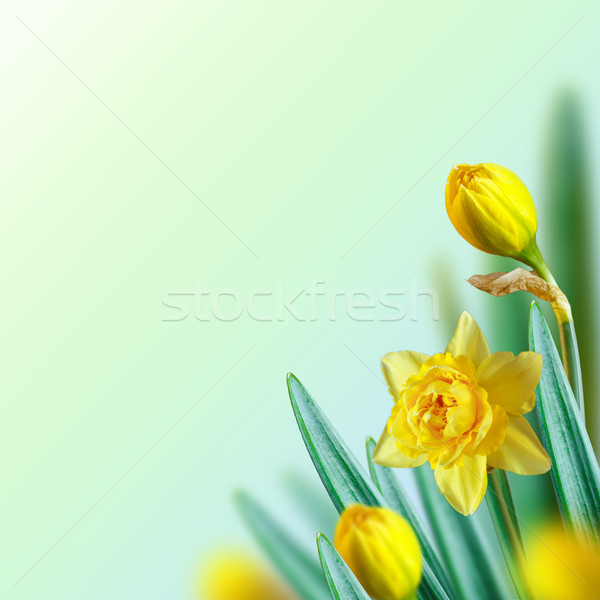 Narcissus background. Stock photo © lidante
