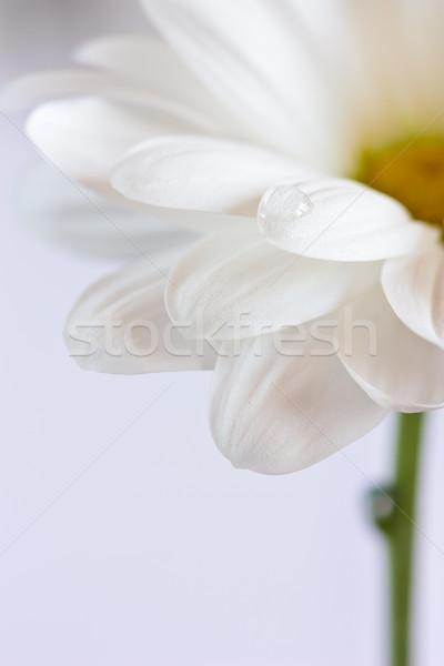Fiore bianco bella goccia d'acqua petali primo piano abstract Foto d'archivio © lidante