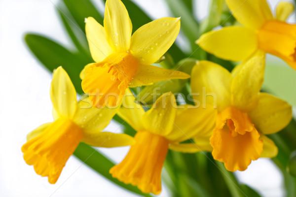Narcissus. Stock photo © lidante