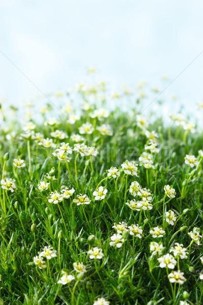 Százszorszépek mező fehér százszorszép virágok zöld Stock fotó © lidante