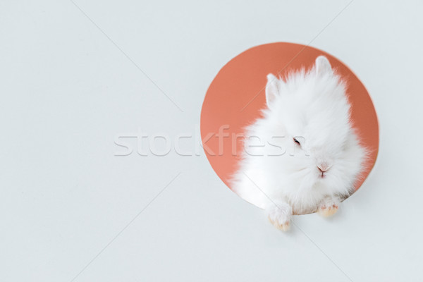 close-up view of adorable white furry rabbit in hole on grey Stock photo © LightFieldStudios