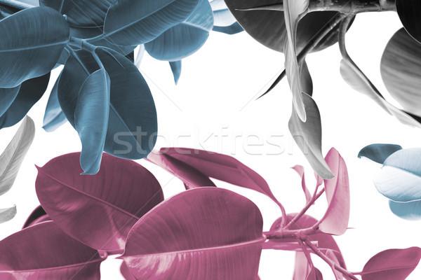 ficus plants texture Stock photo © LightFieldStudios
