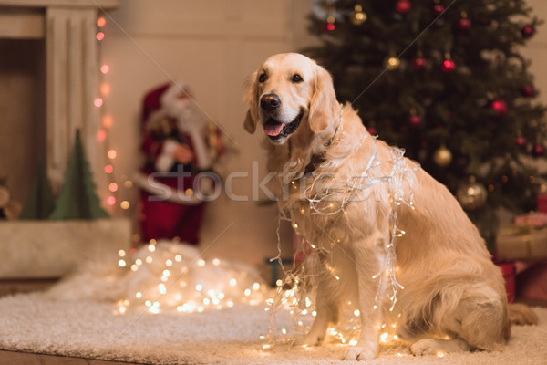 Golden retriever köpek çelenk komik oturma halı Stok fotoğraf © LightFieldStudios