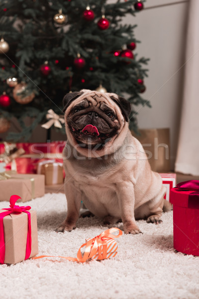 pug with christmas gifts Stock photo © LightFieldStudios