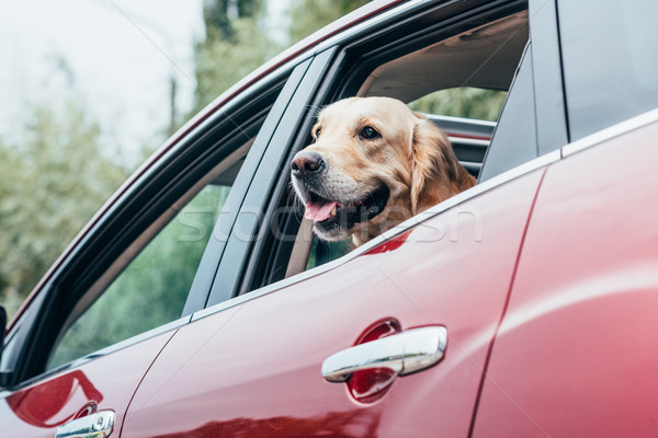 Stock photo: dog looking out of car window