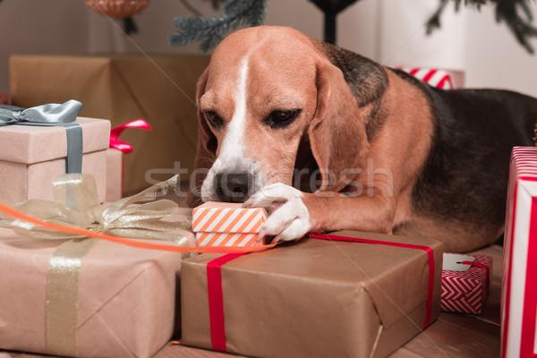 Beagle Рождества подарки красивой собака счастливым Сток-фото © LightFieldStudios