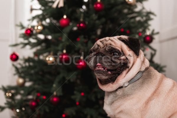 cute pug with christmas tree Stock photo © LightFieldStudios