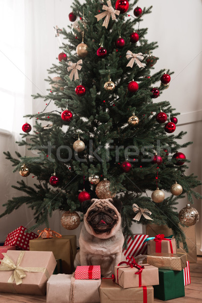 Stock photo: pug sitting under christmas tree