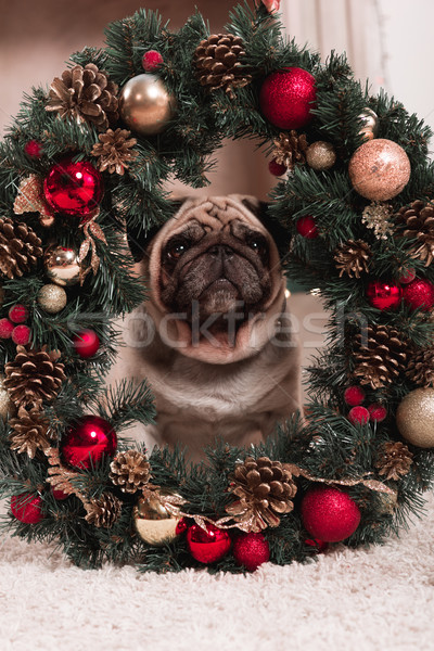 pug sitting behind christmas wreath Stock photo © LightFieldStudios