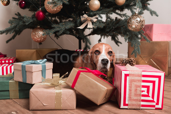 dog laying under christmas tree Stock photo © LightFieldStudios
