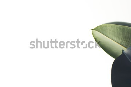 white background with ficus leaves Stock photo © LightFieldStudios