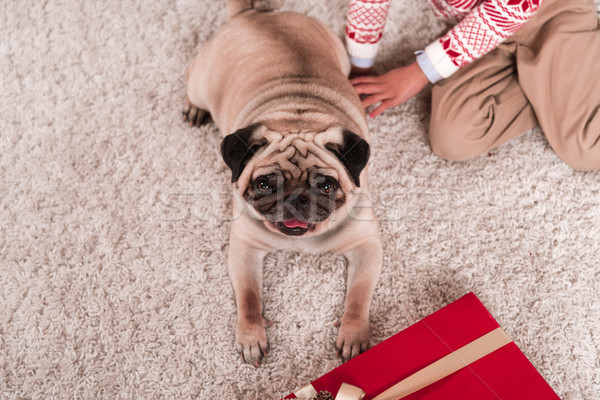 pug laying on carpet with gift box Stock photo © LightFieldStudios