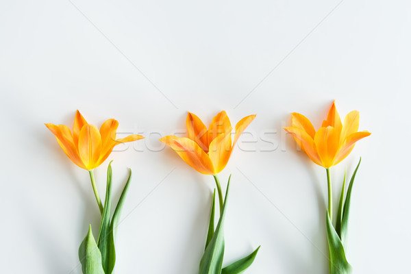 top view of yellow tulips in row isolated on white, wedding flowers background concept Stock photo © LightFieldStudios