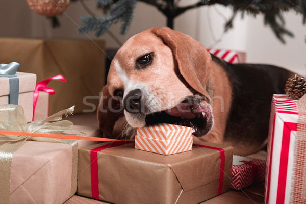 Stock photo: dog trying to eat christmas gifts