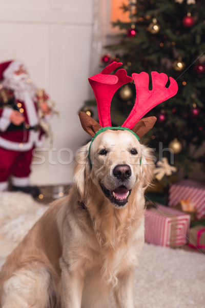 Golden retriever hond gewei grappig naar camera Stockfoto © LightFieldStudios
