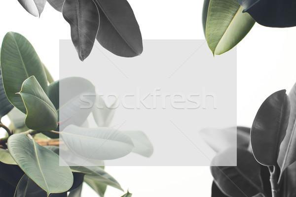 ficus plant with blank card Stock photo © LightFieldStudios