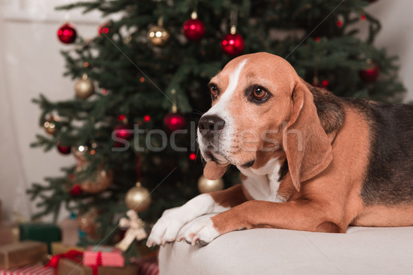 Beagle chien arbre de noël belle canapé heureux Photo stock © LightFieldStudios