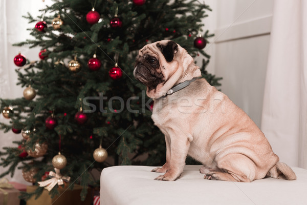 pug sitting next to christmas tree Stock photo © LightFieldStudios