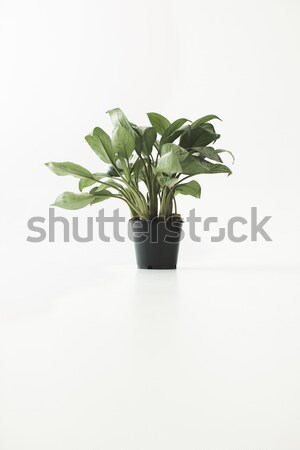 green potted plant Stock photo © LightFieldStudios