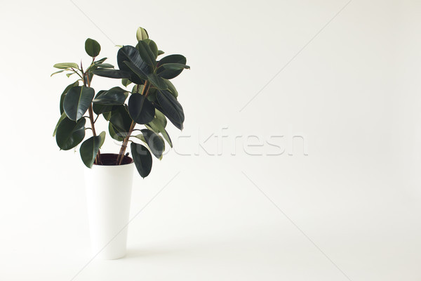 potted ficus plant Stock photo © LightFieldStudios