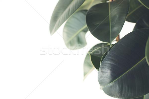 ficus plant Stock photo © LightFieldStudios