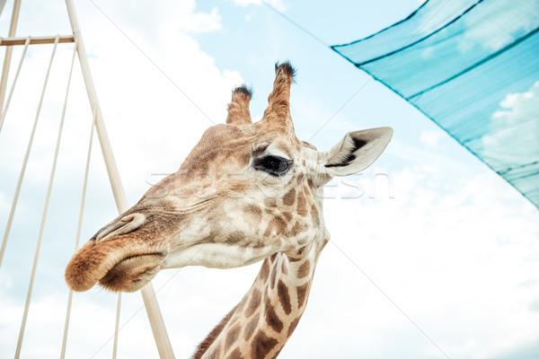 Zsiráf alulról fotózva kilátás gyönyörű égbolt állatkert Stock fotó © LightFieldStudios