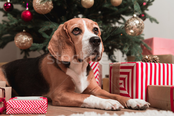 Stock photo: dog laying under christmas tree