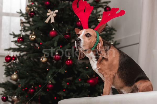 beagle dog with christmas tree Stock photo © LightFieldStudios