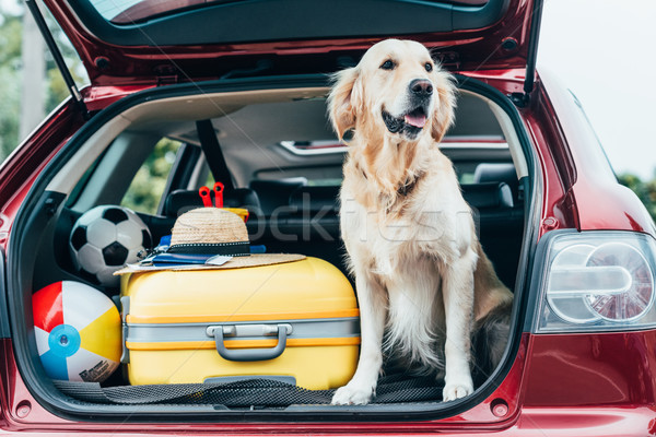dog sitting in car trunk with luggage Stock photo © LightFieldStudios
