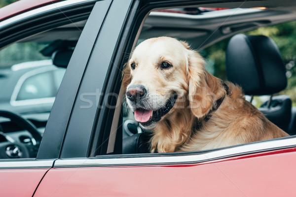 Golden retriever cute hond naar uit auto Stockfoto © LightFieldStudios