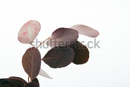 green ficus plant Stock photo © LightFieldStudios