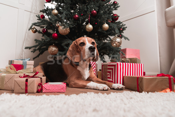dog laying under christmas tree Stock photo © LightFieldStudios