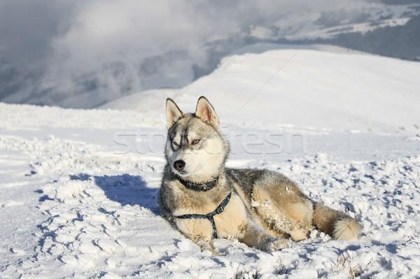 Husky perro nieve montanas Ucrania naturaleza Foto stock © LightFieldStudios
