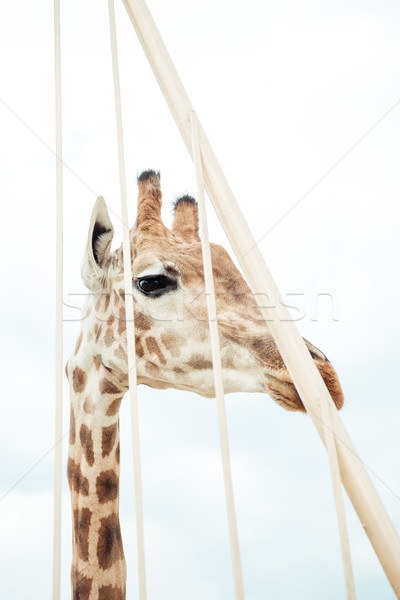 giraffe  Stock photo © LightFieldStudios