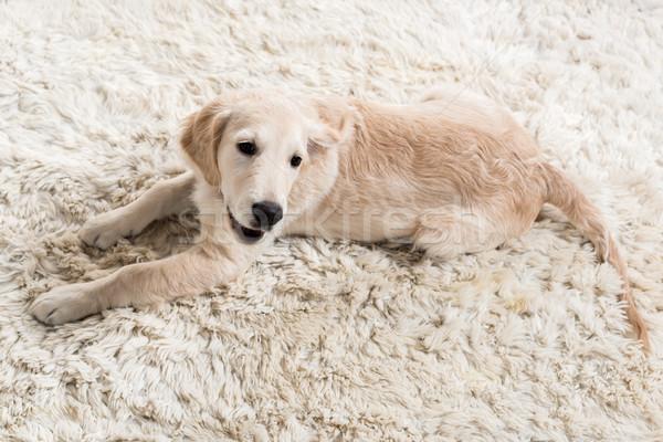 Golden retriever cachorro cute mullido alfombra casa Foto stock © LightFieldStudios