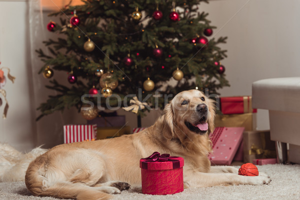 golden retriever dog at christmas eve Stock photo © LightFieldStudios
