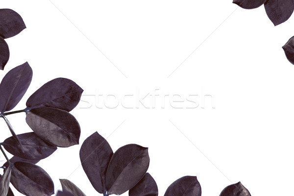 leaves of ficus plant with copy space Stock photo © LightFieldStudios