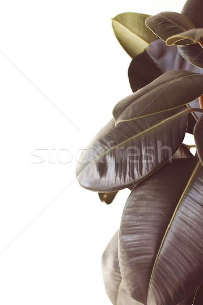 green ficus plant with copy space Stock photo © LightFieldStudios