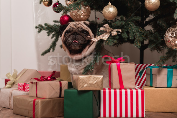 pug sitting under christmas tree Stock photo © LightFieldStudios