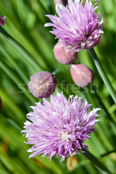Chives blossoming in late spring Stock photo © lightkeeper