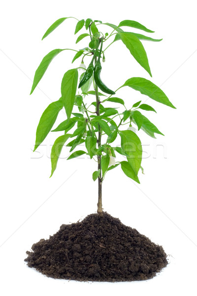 Hot pepper plant Stock photo © lightkeeper