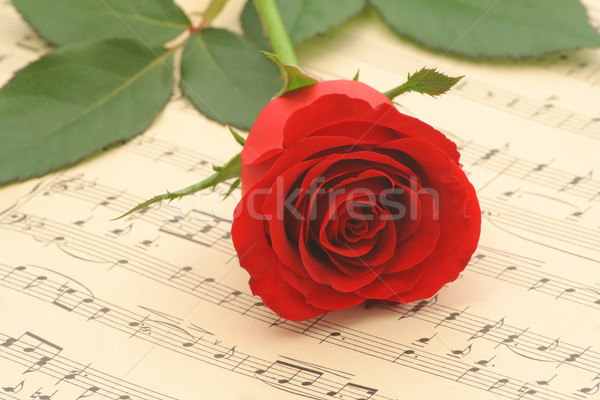 Red rose closeup Stock photo © lightkeeper