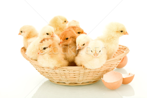 A basketful of fluffy spring chickens Stock photo © lightkeeper