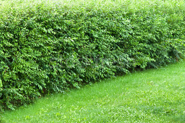 Wonder hedge bushes at the edge of lawn Stock photo © lightkeeper