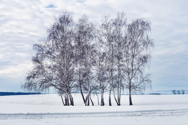 Grup huş ağacı ağaçlar kış çıplak bulutlu Stok fotoğraf © lightkeeper